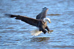 American Bald Eagle Fishing with Muddy Talon [3890] (cl.lin) Tags: nature fishing nikon eagle wildlife sigma iowa americanbaldeagle birdinflight leclaire lockdam14 ld14 lockanddamno14 sigma150600mm