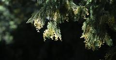 Mimosa en contre jour (Pi-F) Tags: jaune 100v10f vert mimosa contrejour sousbois eos5d