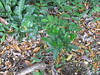 starr-120606-9546-Castanospermum_australe-seedlings_nearby_parent-Kahanu_Gardens_Hana-Maui (Starr Environmental) Tags: castanospermumaustrale
