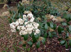Photinia glabra (Thunb.) Maxim. 1873 (ROSACEAE) (helicongus) Tags: spain photinia rosaceae photiniaglabra jardínbotánicodeiturraran