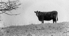 spooky mama (severalsnakes) Tags: road animal rural cow cattle pentax country dirt pasture missouri livestock bovine gravel ks2 sedalia pentaxm2004 saraspaedy