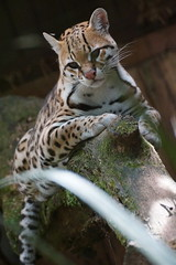 Jaguatirica (dotcomdotbr) Tags: animal sony felino alpha itatiba a77 mamífero jaguatirica zooparque sal55300