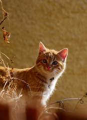 P1070329_ (Sandra Preussel) Tags: orange baby cute cars nature beautiful animal animals cat fur ginger eyes furry kitten kitty babycat