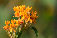 Goldenrod Soldier Beetle on Butterflyweed (U.S. Fish and Wildlife Service - Midwest Region) Tags: flowers summer flower nature mi insect spring midwest michigan beetle goldenrod insects bloom beetles usfws blooming butterflyweed usfishandwildlifeservice pollinator pollinators midwestregion soliderbeetle soliderbeetles
