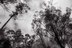 Clouds rolling through the woods (Rajan Raju) Tags: trees clouds woods hills kodaikanal silentvalley berijamlake ilobsterit