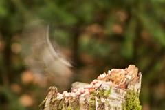 ...And Now You Don't (Mac ind Óg) Tags: motion blur bird art walking scotland spring tit aberfoyle thetrossachs coaltit periparusater davidmarshalllodge queenelizabethforestpark lochlomondandthetrossachsnationalpark