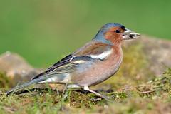 Fringuello - (Fringilla coelebs) - Maschio (Mascamit) Tags: natura uccelli viterbo fringillacoelebs lazio uccello maschio fringuello bassanoromano
