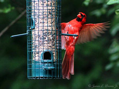 RedBirds2 (jb5860) Tags: artisticphotos bestartistic jb5860