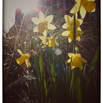 luminous daffodils