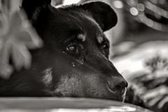 Right (Silvia Corral) Tags: dog chien white black macro blanco happy eyes noir negro yeux perro felicidad blanche blanc negre gos ulls