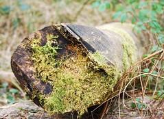 2945 Moss cut tree trunk (Andy in relax mode) Tags: tree forest moss log mmm fff lll ttt llynparcmawr 20160321