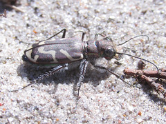 Cicindela tranquebarica kirbyi, female (tigerbeatlefreak) Tags: nebraska tiger beetle coleoptera cicindela carabidae tranquebarica cicindelinae kirbyi
