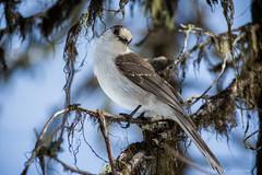 Gray Jay (C-Brese) Tags: bird closeup grey jay wildlife gray grayjay greyjay perisoreuscanadensis whiskeyjack canadajay cbrese