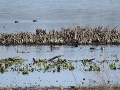 Green-winged Teal by SpeedyJR (SpeedyJR) Tags: nature birds wildlife indiana teals greenwingedteal fwa kingsburyfwa laportecountyindiana speedyjr kingsburyfishandwildlifearea 2016janicerodriguez