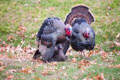 IMG_9358nwm (mistergeeky) Tags: birds maryland turkeys wildturkeys wildbirds