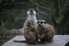 Stokstaartjes (tasj) Tags: zoo ouwehandsdierenpark