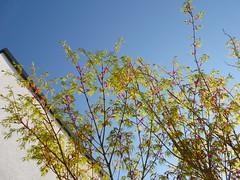 Acer & Sky (Jrg Paul Kaspari) Tags: blue sky spring maple himmel acer blau garten blauer frhling palmatum ahorn moderner wincheringen moderngarden drachenschwanzahorn seiryu acerpalmatumseiryu