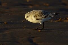Sanderling on beach (P_1_B) Tags: bird beach nature birds wildlife birding norfolk sigma birdwatching waders sanderling sanderlings rspb wader titchwellmarsh rspbtitchwellmarsh sigma150500 sonya77 slta77 slta77v sonya77v