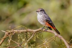 Churrinche (Juvenil) (Javier Chiavone) Tags: argentina aves ceibas entrerios pyrocephalusrubinus churrinche
