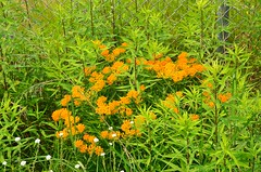 Butterfly-weed, Minnesota, Arden Hills, Minnesota National Guard Arden Hills Training Area (EC Leatherberry) Tags: minnesota wildflower butterflyweed ramseycounty asclepiastuberose ardenhillsminnesota minnesotanationalguardardenhillstrainingarea