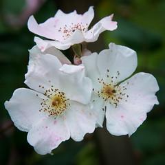 Rose-9657 (pnodrog) Tags: flower marlene