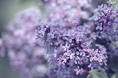 Lilacs (DigiDi) Tags: painterly photoshop ie lilacs canvastexture digidi sharingart magicunicornverybest