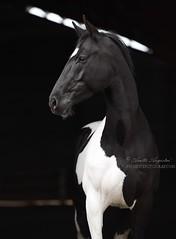 Bojek 4 (Hestefotograf.com) Tags: show friends summer horse white black girl norway bareback jump mare dress lets hannah go run riding pony barefoot welsh arabian elegant cob bestfriend rider equestrian canter equine pinto equus equipage skien