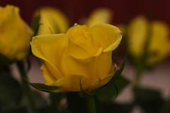 DSC_0797 (PeaTJay) Tags: flowers roses plants macro nature rose gardens fauna reading flora sigma indoors micro closeups berkshire rosebuds lowerearley nikond750