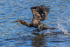 Double-crested Cormorant Nest Building (Bill Varney) Tags: male water outdoors fly flying nest florida wildlife flight wetlands stick cormorant splash materials billvarney