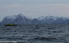 orcas (jacqy85) Tags: norway wildlife dolphins whales orca killerwhales andenes orcinusorca noorwegen cetacean orka spekhoggere
