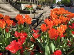 HBM! (peggyhr) Tags: orange sunlight canada vancouver bc tulips benches hbm thegalaxy peggyhr heartawards thegalaxyhalloffame frogpondflorals lamiasonata thelooklevel1red thelooklevel2yellow madaboutflowers niceasitgets~level1 arborsquare~anaturegroup~ frameit~level01~ musictomyeyes~l1 windsong~ level1peaceawards level2platinumpeaceaward sarasgarden~