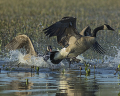 Canada Geese (Zone~V) Tags: canada kentucky kos goose management area april chuck henderson waterfowl porter wildllife anatidae sloughs