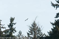 _DSC4782.jpg (orig_lowolf) Tags: usa dog nature oregon nikon flickr lakeoswego turkeyvulture d300s sigma150500mmf563afapodgoshsmtelephotozoom