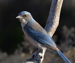 Scrub Jay  Aphelocoma californica (holtw50) Tags: jay scrubjay aphelocomacalifornica