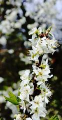 Plum blossom (Roger Bunting) Tags: blossom plum plumblossom worksop chesterfieldcanal