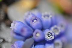 herzlich im inneren (nirak68) Tags: blue flower hail deutschland spring blossom blume lbeck blte frhling muscari hagel grapehyacinth balkonpflanzen asparagaceae traubenhyazinthen perlhyazinthe 115366 scilloideae spargelgewchs schleswigholsteinkreisfreiehansestadtlbeck c2016karinslinsede