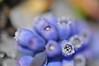 herzlich im inneren (nirak68) Tags: blue flower hail deutschland spring blossom blume lübeck blüte frühling muscari hagel grapehyacinth balkonpflanzen asparagaceae traubenhyazinthen perlhyazinthe 115366 scilloideae spargelgewächs schleswigholsteinkreisfreiehansestadtlübeck c2016karinslinsede