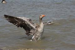 Graugans (sraanasol) Tags: bird austria sterreich rust vogel burgenland anseranser graugans