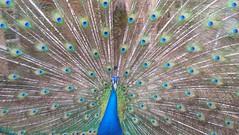Pavoreal (ggalvanh1) Tags: exótico ave goyo mascota animal pavoreal