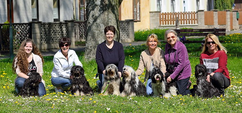 Shifoo meets other Tibetan Terriers