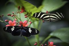 Doris Longwing and Zebra Longwing (PACsWorld) Tags: butterfly zebralongwing longwing dorislongwing butterflyjungle sandiegozoosafaripark