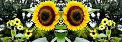 Eat me. (Globetoppers) Tags: yellow garden insect mirror praying sunflower prayingmantis picmonkey