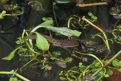Smooth Newt (Lissotriton vulgaris) Female Laying Eggs (Pipsissiwa) Tags: uk animal garden pond wildlife smooth amphibian newt vertebrate vulgaris lissotriton