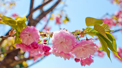Cherry Blossoms (Kwanzan) :  (Dakiny) Tags: park street city pink plant flower tree nature japan cherry tokyo spring nikon ueno blossom bokeh outdoor april cherryblossom uenopark taito 2016 d7000 afsdxnikkor35mmf18g nikonafsdxnikkor35mmf18g nikonclubit
