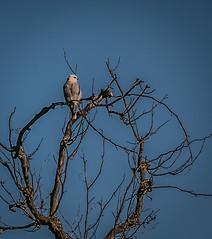 Sycamore Grove 4-17-16 (53) (tpbsr) Tags: birds owl april woodpeckers livermore lvcc sycamoregrove sycsmoregrove