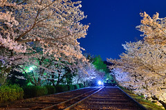 , () (Vincent_Ting) Tags: japan star kyoto nightshot railway   cherryblossoms kansai  cherrytree            vincentting