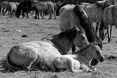 Wild Horses in black-and-white - Foal - 2016-026_Web (berni.radke) Tags: horse pony herd nordrheinwestfalen colt wildhorses foal fohlen croy herde dlmen feralhorses wildpferdebahn merfelderbruch merfeld przewalskipferd wildpferde dlmenerwildpferd equusferus dlmenerpferd dlmenpony herzogvoncroy wildhorsetrack
