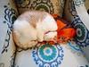 Tessa Fell For A Nylon Shopping Bag (I Flickr 4 JOY) Tags: cats cat tessa sole pest shoppingbag sleepingspot catsleepingspot