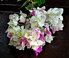 Summer Bouquet (diamonds_in_the_soles_of_her_shoes) Tags: bougainvillea