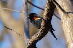 Red-Winged Blackbird (soupie1441) Tags: life wild ontario canada black london nature fauna spring nikon wildlife blackbird redwinged migrate d7200